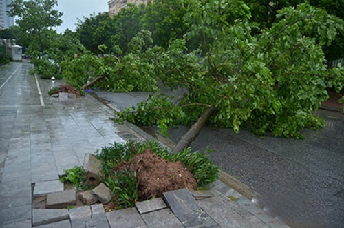 Đợt bão số 1 vừa qua làm hơn 3.000 cây xanh trên địa bàn Hà Nội bị bật gốc.
