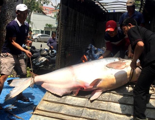 Ngày 21/9, người dân ở TP Long Xuyên (tỉnh An Giang) xôn xao khi nhìn thấy con cá tra nặng trên 200 kg, được bà V. mua của một người dân bắt được từ Biển Hồ Campuchia. (Ảnh: Nguyễn Hành)