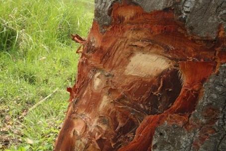 Sự tồn tại của hàng cây xà cừ cổ thụ này đang bị đe dọa nghiêm trọng. Các cơ quan chức năng huyện Đức Thọ cần có phương án chăm sóc, bảo vệ những hàng cây được coi như báu vật này.