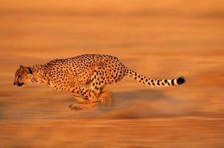 Báo săn có cơ thể mảnh mai, cân đối giúp phát huy tối đa sức mạnh về tốc độ của mình