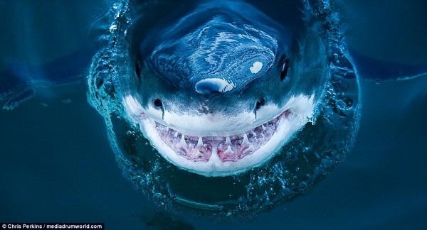 """""""Nụ cười"""" của cá mập trắng được nhiếp ảnh gia Chris Perkins ghi lại"""