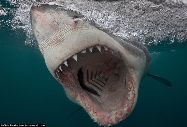 """Cận cảnh """"nụ cười"""" đáng sợ của sát thủ đại dương cá mập trắng - 2"""