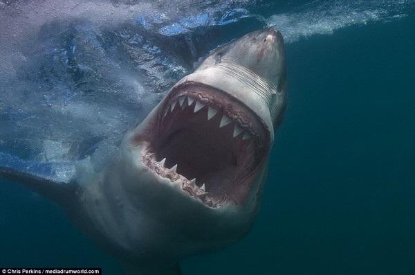 Đây có thể là những hình ảnh cuối cùng mà con mồi nhìn thấy được khi bị cá mập trắng tấn công
