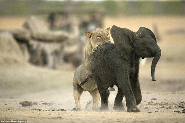 Khoảnh khắc voi con xấu số trở thành mồi ngon cho sư tử - 2