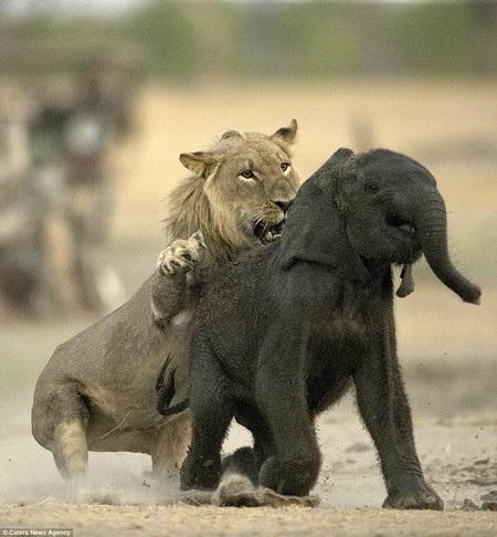 Sư tử lập tức chồm lên để tấn công chú voi con