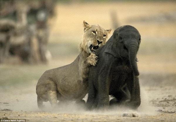 Mặc dù voi con đã tìm cách chạy trốn nhưng không thể thoát được móng vuốt của sư tử