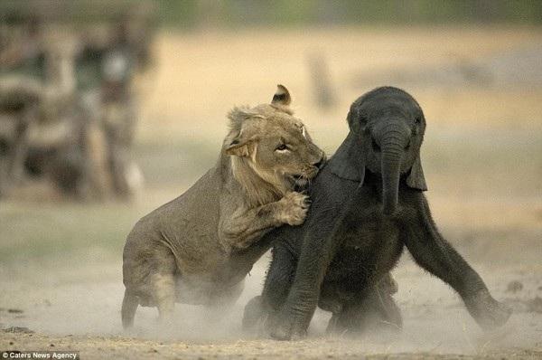 Khoảnh khắc voi con xấu số trở thành mồi ngon cho sư tử - 5