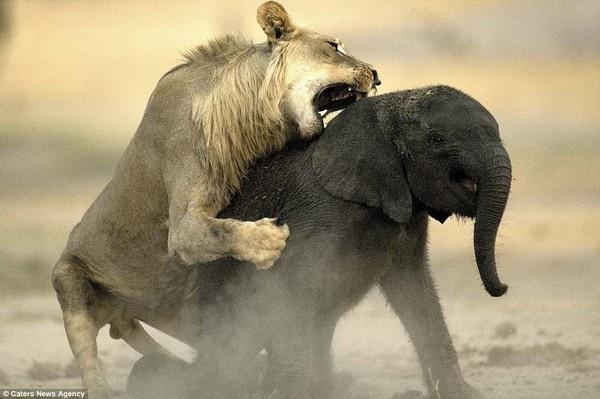 Khoảnh khắc voi con xấu số trở thành mồi ngon cho sư tử - 6