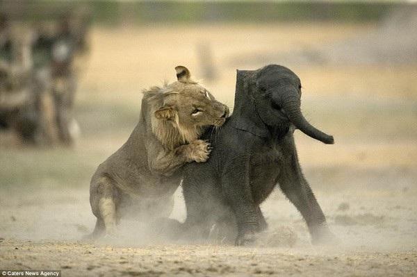 Con sư tử đực trẻ tuổi tìm mọi cách để quật ngã voi con...