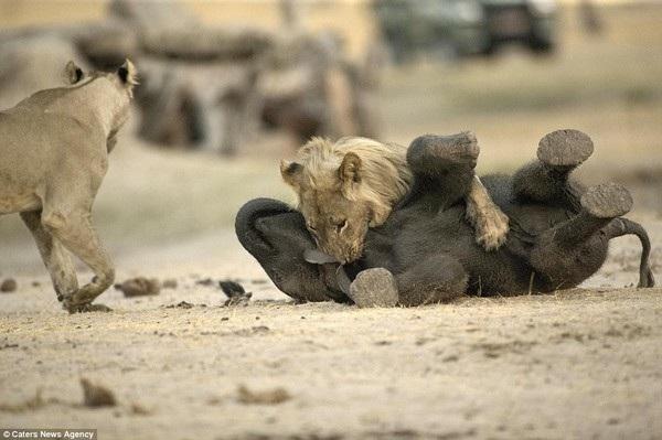 ... trước khi có sự xuất hiện và can thiệp của một con sư tử cái khác