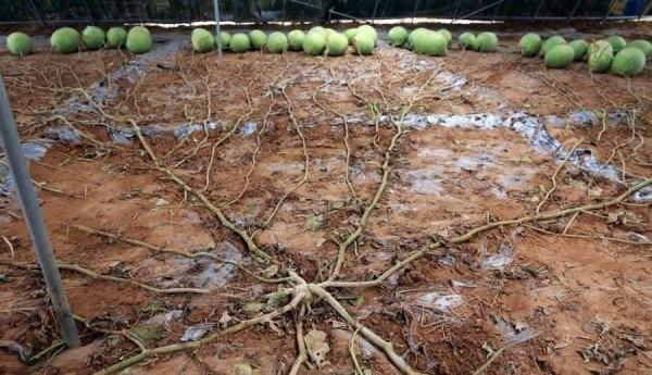 Giống dưa hấu mới được lai tạo cho 131 quả chỉ trong một mùa vụ