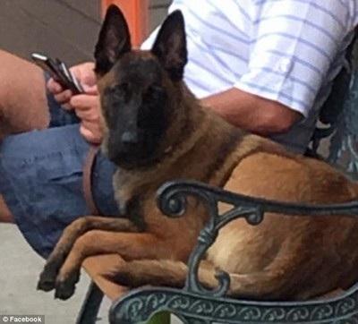 Chú chó Rylee bị mất tích thuộc giống chó chăn cừu Bỉ, nổi tiếng thông minh và mạnh khỏe