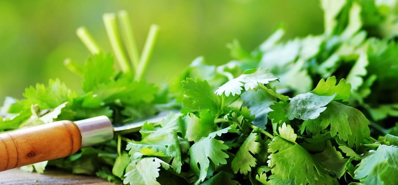 Rau mùi và 5 lợi ích sức khỏe - 1