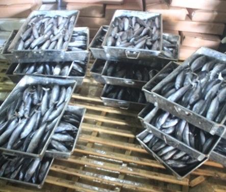 Phenol và Cá nục bị nhiễm độc