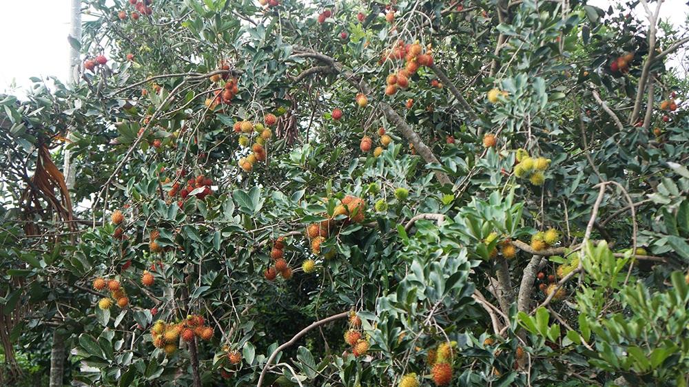 Với đặc điểm của thổ nhưỡng nên trái cây tại vùng đất Long Khánh đặc biệt ngon ngọt, giòn với rất nhiều chủng loại khác nhau