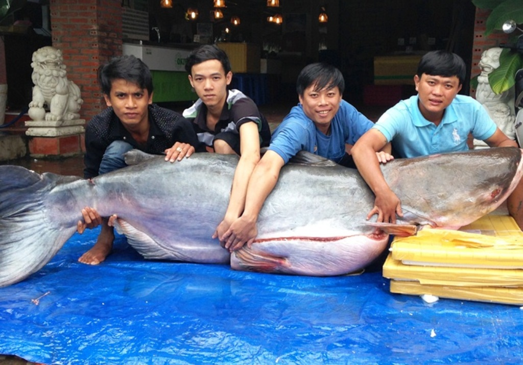 Con cá tra dầu nặng 200 kg vừa được vận chuyển về TPHCM