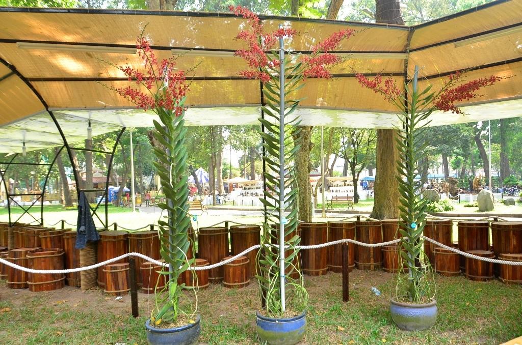 Cây lan bò cạp đỏ trồng ở Tây Ninh cao hơn 2 mét