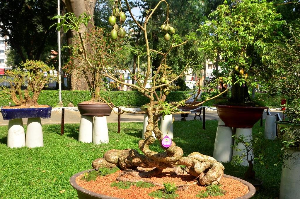 Cây cóc kiểng với bộ rễ uốn lượn