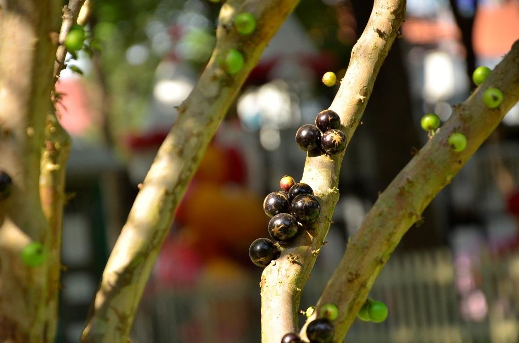 Cây nho thân gỗ có nguồn gốc Nam Mỹ