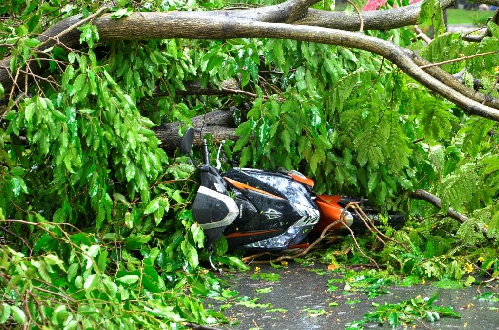 Chiếc xe gắn máy của nạn nhân bị cây xanh đè hư hỏng