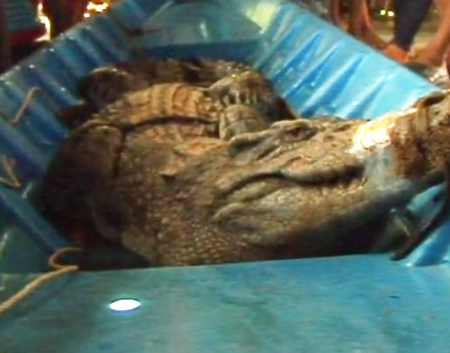 Cá sấu khủng bị bắt trong vuông tôm.