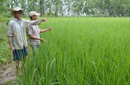 Ông Tất đang nói về con đường phát triển của cây lúa ở quê hương mình.