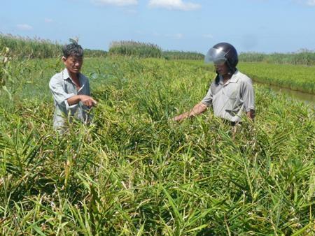 Người trồng gừng ở Cà Mau đang lo lắng bởi gừng rớt giá khiến họ bị lỗ nặng trong năm nay.