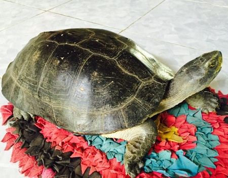 Con rùa mà nhà bà Nguyễn Thị Thu bắt được sau nhà.