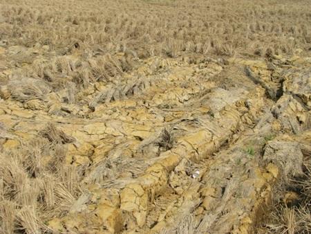 Hạn, mặn vừa qua đã gây thiệt hại không nhỏ cho người dân làm lúa ở Bạc Liêu nói riêng, ĐBSCL nói chung.
