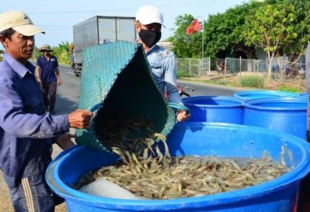 Ngành tôm Việt Nam gặp không ít thách thức khi ra thị trường thế giới. (Ảnh: CTV)