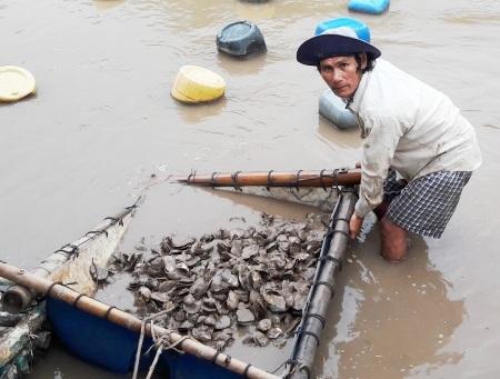 Nghêu, hàu nuôi chết gây thiệt hại hàng chục tỷ đồng. (Ảnh CTV).