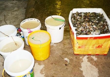 Bắt quả tang tôm bơm tạp chất tại một công ty chế biến thủy sản - 1