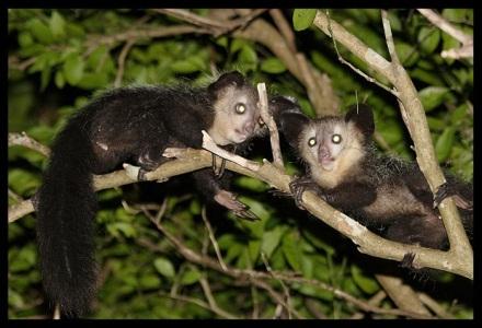 Người ta tin rằng loài khỉ Aye Aye sẽ mang đến cái chết.