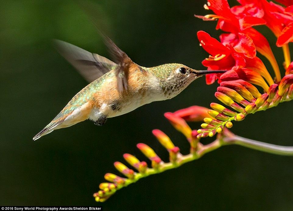 Khoảnh khắc kiếm ăn của chú chim ruồi. Tác giả: Sheldon Bilsker (Canada).