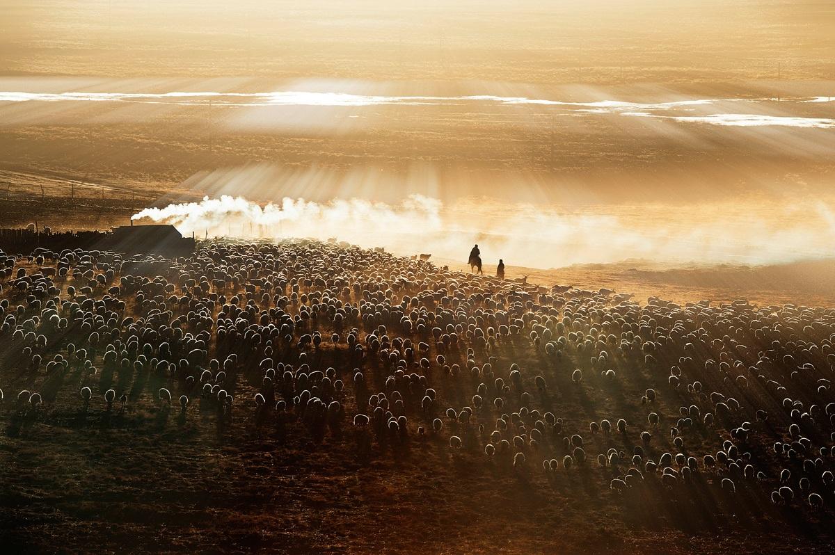 Gia đình chăn cừu, bán len, sữa và thịt cừu để kiếm sống. Tác giả: Li Ming Cao