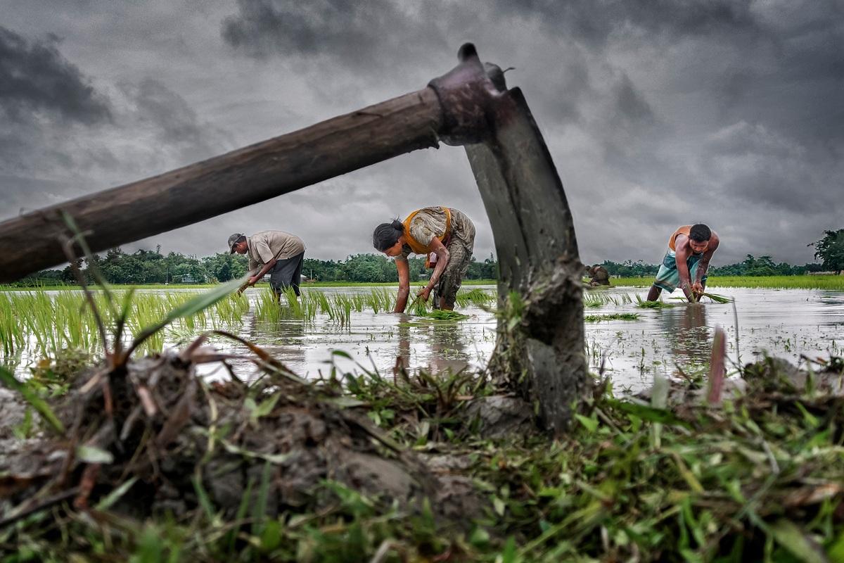 Một gia đình nông dân đang chăm chú với công việc đồng áng ở Cooch Behar, phía tây Bengal, Ấn Độ. Với người dân địa phương, gạo là lương thực chính rất quan trọng trong cuộc sống hàng ngày. Việc cày cấy là công việc chung cả gia đình và trẻ em cũng tham gia. Đây là một trong những bức hình đạt giải thưởng. Tác giả: Sujan Sarkar
