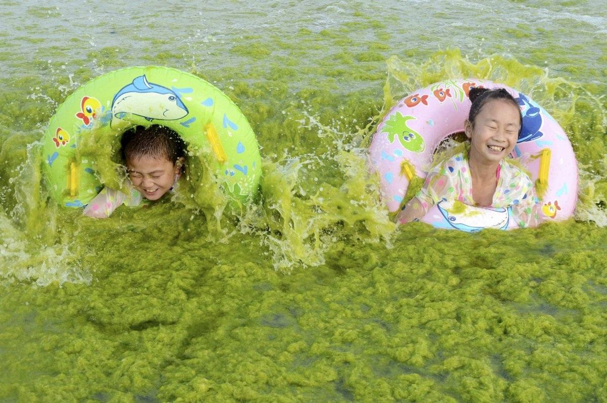Bờ biển ở Thanh Đảo thuộc tỉnh Sơn Đông, Trung Quốc, bị ngập chìm trong lớp tảo xanh. Tuy nhiên, điều này dường như không ảnh hưởng tới cuộc vui của bọn trẻ.