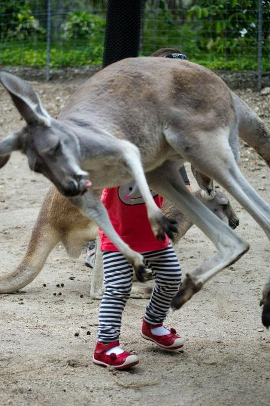 Kangaroo nhảy vào khung hình.