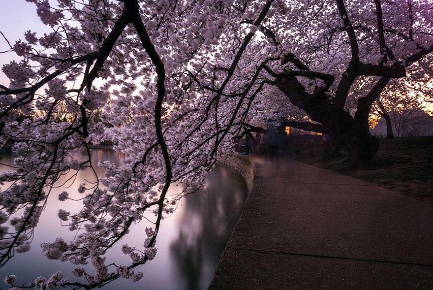 """Đắm mình trong """"mùa hoa kỳ diệu"""" – màu của anh đào ở Nhật Bản - 11"""