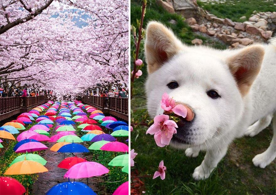 """Đắm mình trong """"mùa hoa kỳ diệu"""" – màu của anh đào ở Nhật Bản - 8"""