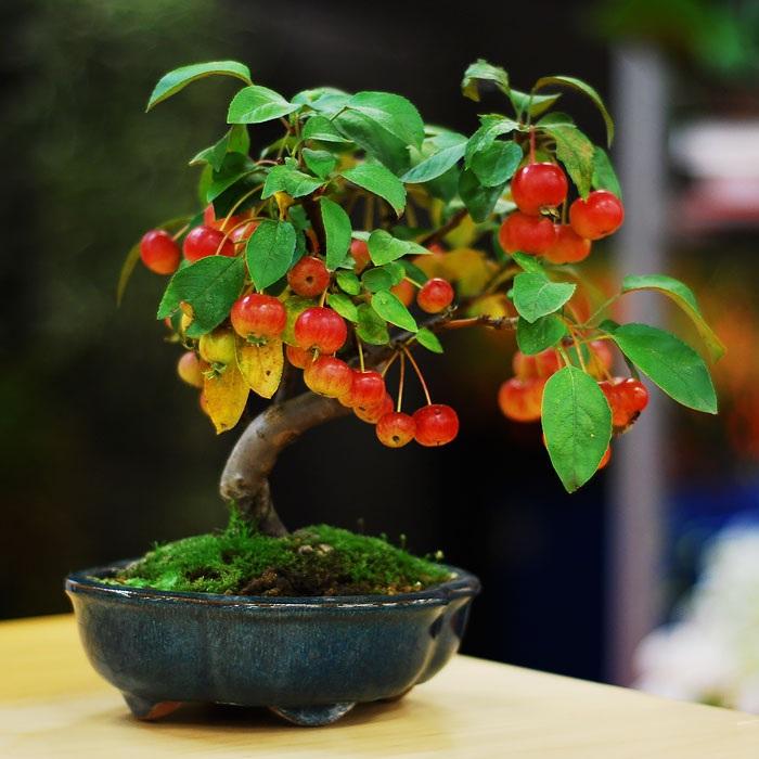 Chậu bonsai giống táo dại của Nhật Bản