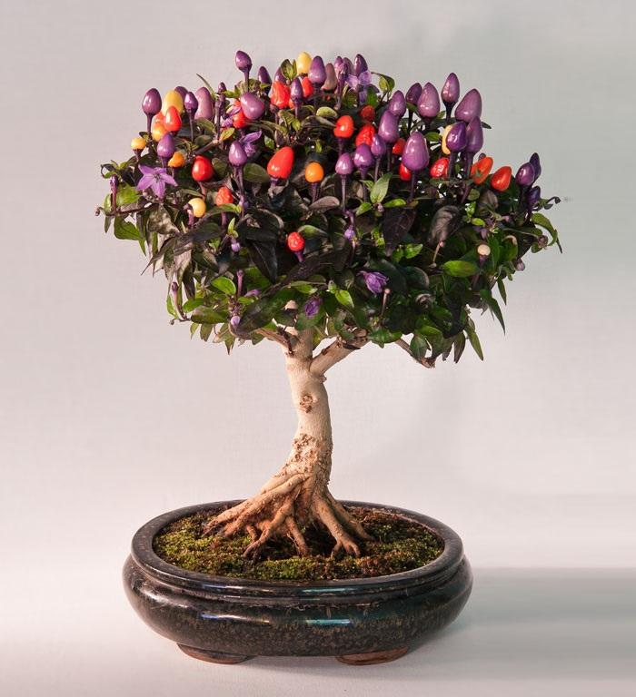 Chậu bonsai về một giống ớt của Chile