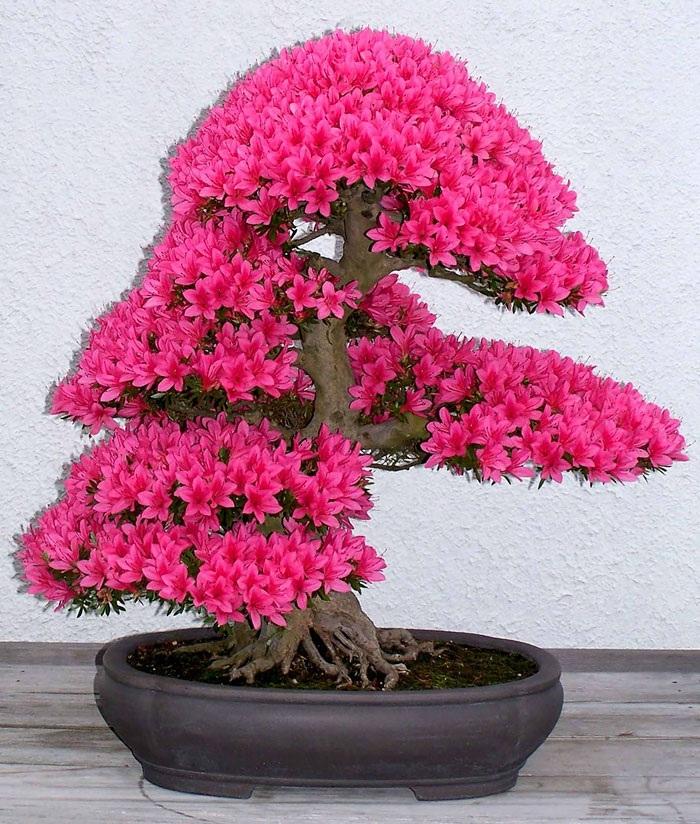 Một chậu bonsai hoa đỗ quyên cũng có hoa nở kín đồng loạt.