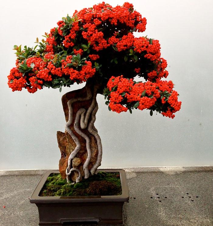 Chậu bonsai hoa Pyracantha, một loài thực vật có hoa trong họ Hoa hồng.