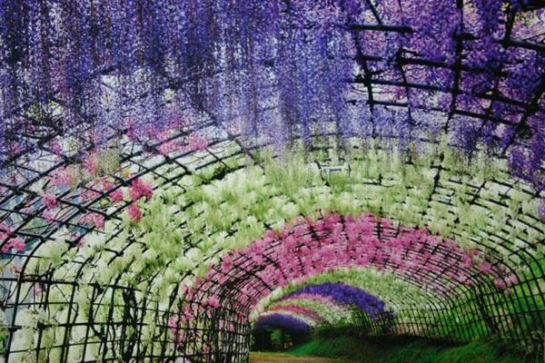 Những đường hầm hoa tử đằng đẹp ngất ngây ở Nhật Bản - 10