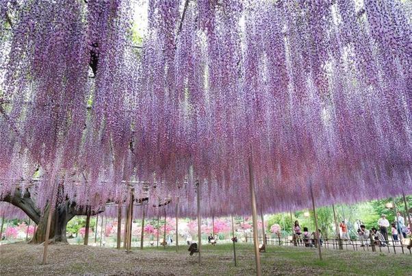 Những đường hầm hoa tử đằng đẹp ngất ngây ở Nhật Bản - 9