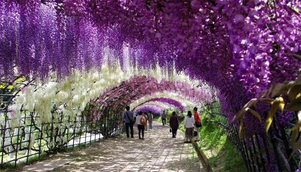 Những đường hầm hoa tử đằng đẹp ngất ngây ở Nhật Bản - 5