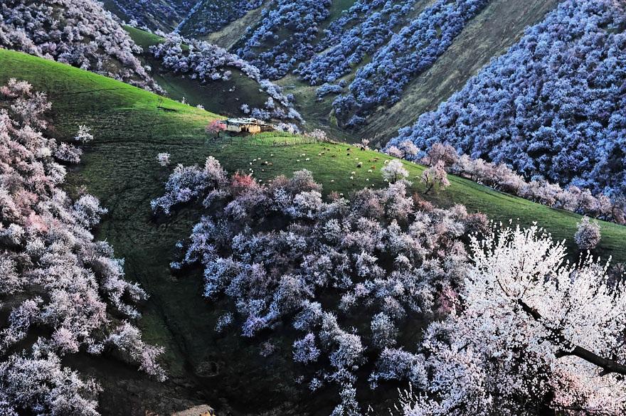 Thảm hoa bung nở trắng xóa trên thung lũng xanh non màu cỏ