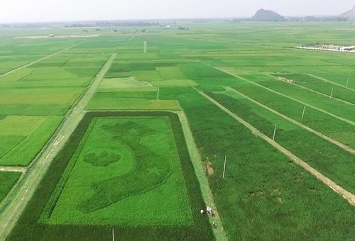 Độc đáo cánh đồng lúa 4 màu hình bản đồ Tổ quốc - 1