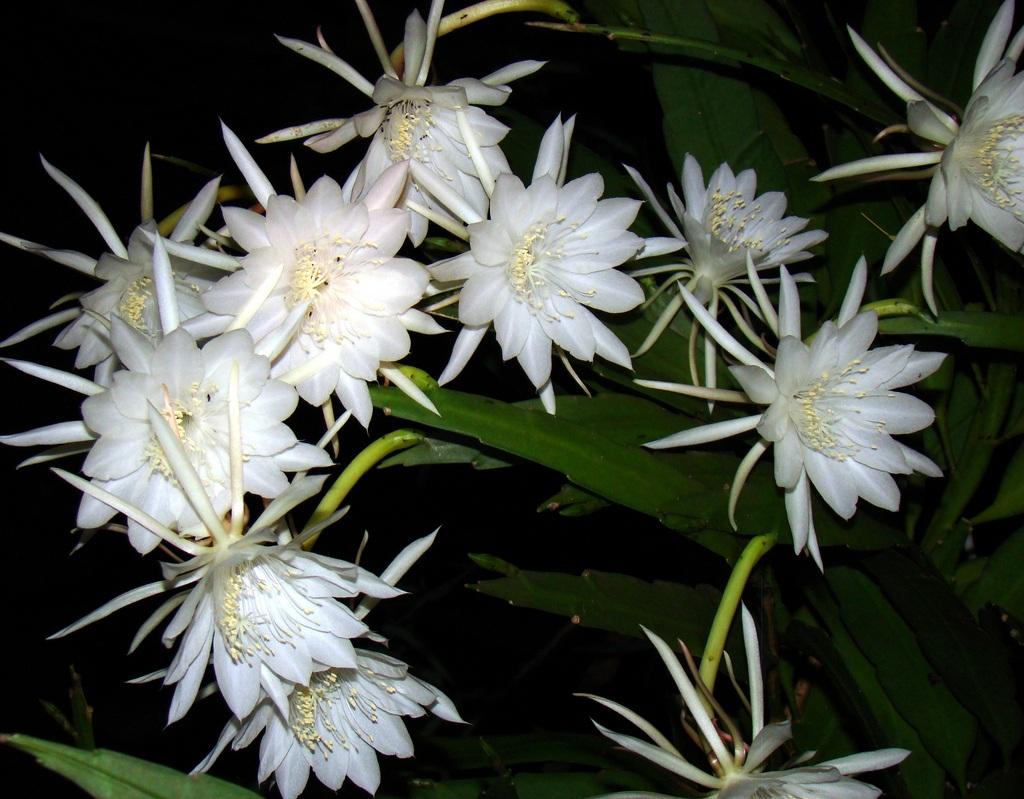 Những loài hoa nở đêm đẹp nhất hành tinh - 7